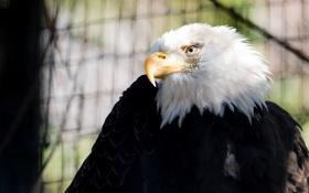 Обои контраст, клюв, оперение, птица, белоголовый орлан, зоопарк, хищник