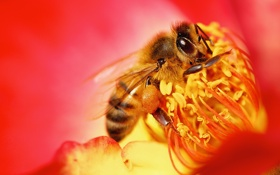 Обои цветок, природа, пчела, насекомое