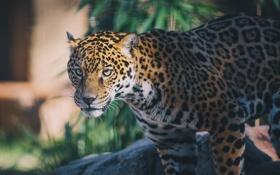 Картинка морда, свет, хищник, пятна, ягуар, дикая кошка