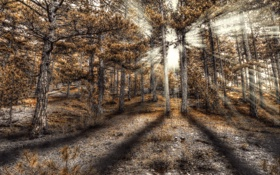 Обои лес, солнце, лучи, hdr, хвойный