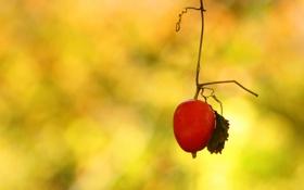 Обои лист, фон, растение, ветка, усики, плод
