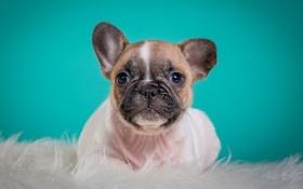 Обои щенок, мордочка, милый, французский бульдог, портрет