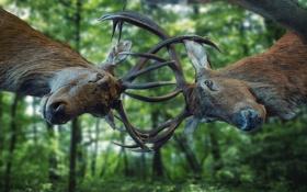 Обои рога, олени, схватка