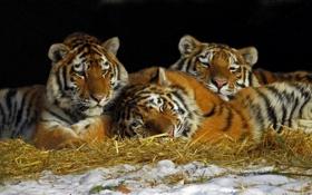 Обои отдых, сено, тигры, трио, тигрята