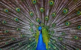 Обои птица, узоры, перья, хвост, павлин