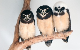 Обои птицы, три, совы, трое
