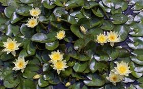 Картинка листья, нимфея, водяная лилия, кувшина