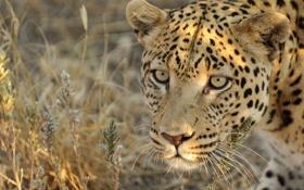 Обои взгляд, морда, леопард
