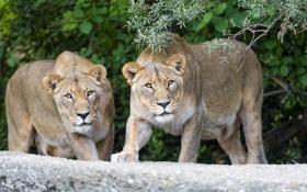 Обои взгляд, кошки, ветка, пара, львицы, ©Tambako The Jaguar