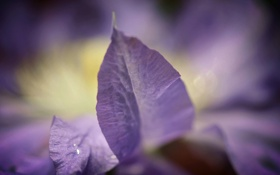 Обои цветок, природа, сиреневый, растение, лепесток, клематис