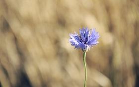 Обои цветок, синий, сиреневый, лепестки