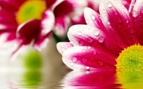Картинка вода, цветы, хризантемы