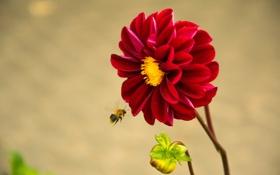 Обои цветок, пчела, пыльца