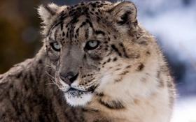 Картинка снежный барс, ирбис, хищник, взгляд