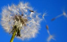 Обои небо, ветер, красота, Одуванчик, воздух, лёгкость