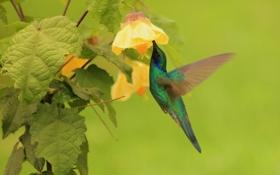 Обои цветок, листья, птица, колибри