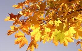 Картинка листья, желтые, ветка, макро, клен