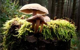 Картинка лес, грибы, мох, пень