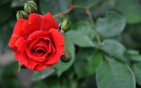 Обои цветок, макро, роза, красота, красная