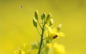 Обои цветы, растение, насекомое, рапс