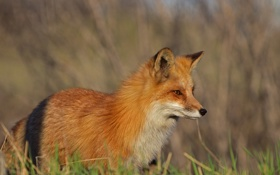 Обои лиса, профиль, лисица