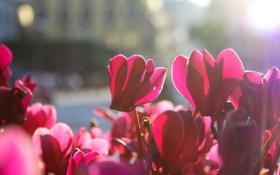 Обои цветы, лепестки, красные