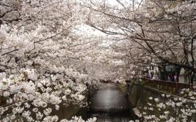 Обои деревья, цветы, город, весна, Токио, цветение, водный канал