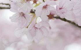 Обои цветение, весна, вишня, нежность