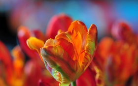Картинка цветок, природа, тюльпан, лепестки