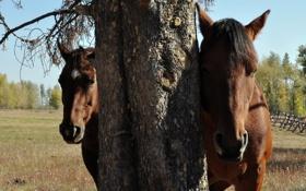 Обои природа, дерево, лошадь, лошади, скрытность