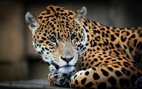 Обои взгляд, хищник, лежит, ягуар