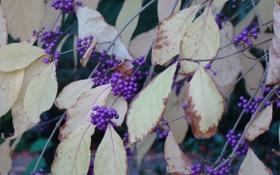 Картинка осень, фиолетовый, листья, ягоды, сиреневый, ветви, октябрь