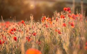 Обои лето, свет, цветы, тепло, маки, красные