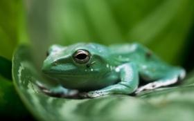 Обои листья, макро, лягушка, зелёный