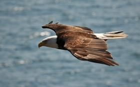 Картинка высота, свобода, орлан, крылья, полет, хищная птица
