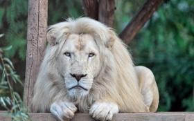 Обои морда, отдых, хищник, лапы, грива, дикая кошка, зоопарк
