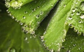 Картинка листья, капли, макро, зеленый, листва, весна, волоски