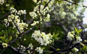 Обои листья, весна, ветки, почки, вишня, дерево, цветы