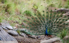 Обои птица, перья, хвост, павлин
