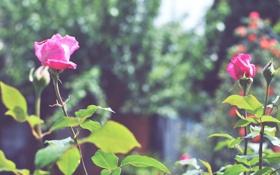 Картинка цветок, роза, куст, лепестки, бутон