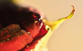 Обои роза, цветок, капля, макро, бутон