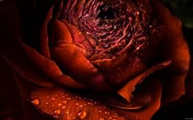 Картинка красный, Цветок, flower