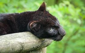 Обои кошка, взгляд, морда, пантера, бревно, чёрный леопард