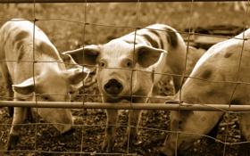 Обои фон, забор, свинья