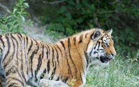 Картинка кошка, трава, взгляд, тигр, профиль, амурский