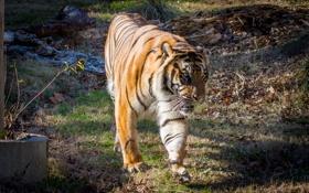 Картинка кошка, солнце, тигр, прогулка