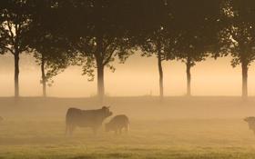 Картинка поле, пейзаж, туман, утро, коровы