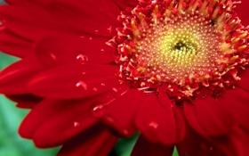Обои капли, макро, роса, лепестки, ромашка, красная, гербера