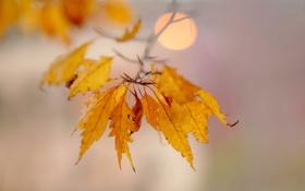 Обои листья, ветка, желтые, осенние