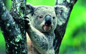 Обои природа, животное, коала